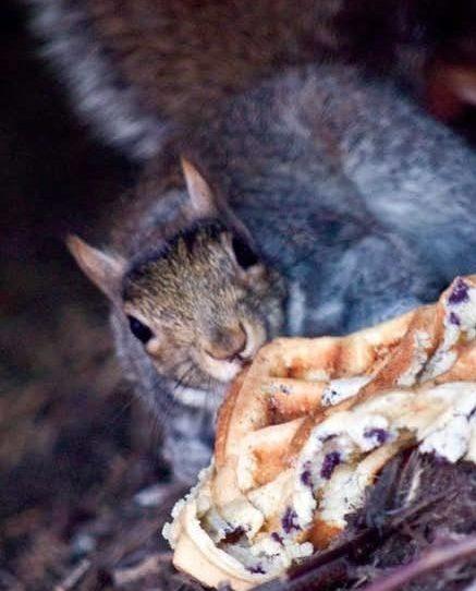 squirrel with eggo waffle